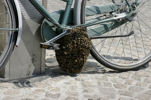 Honey bee swarm on a bicycle.