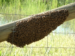 Honey bee swarm on a fence.