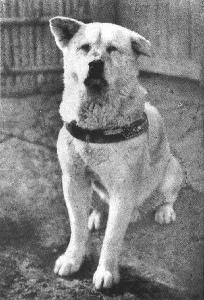 Hachikō, Japan's loyal dog