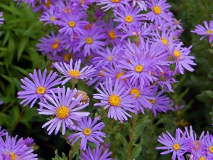 Asters (300x225)