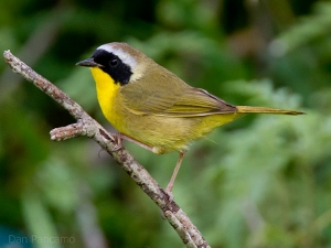A male common yellowthroat.