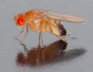 Drosophila contemplates his genetic heritage.