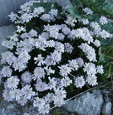 Candytuft by Toromedia