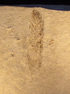 A 150 million year old fossilized Archaeopteryx feather.