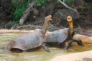 Galapagos Tortoises on Santa Cruz Island