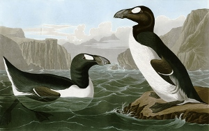 Audubon's rendition of the Great Auk in the early 1800s.