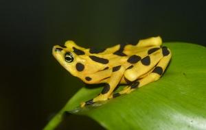 The rare Panamanian Golden Frog.