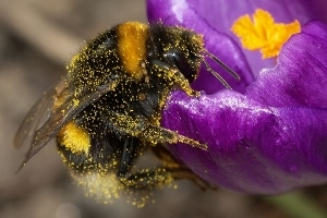 A buff-tailed bumblebee, hard at work.