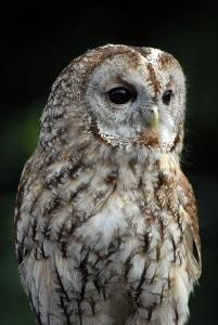 A tawny owl (Strix aluco).