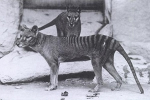 Thylacines at a Washington, DC zoo in 1906.