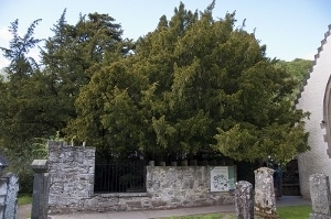 The Fortingall Yew in Scotland, 3,000 years old.