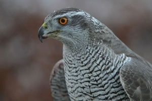 A goshawk prepares to kill.