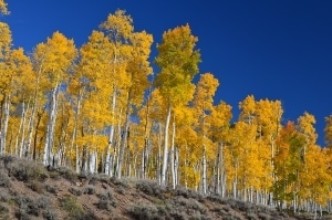 Pando, and 80,000 year old clonal colony of quaking aspen in Utah.