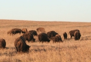 American bison on the Tallgrass Prairie Preserve.