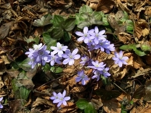 A tiny patch of Hepatica blooming in the spring.