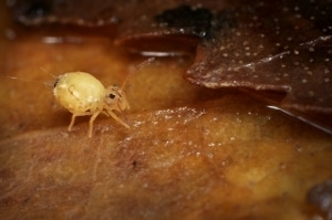 A tiny globular springtail in the damp leaf litter.