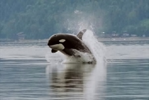 An orca showing off near Seattle.