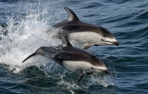 Pacific white-sided dolphins on the move.