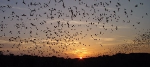 Free-tailed bats emerge from Carlsbad Caverns at dusk.