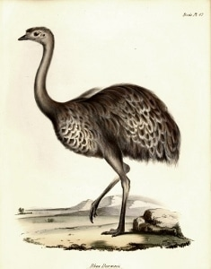 A drawing of the lesser rhea by John Gould, one of Darwin's contemporaries.