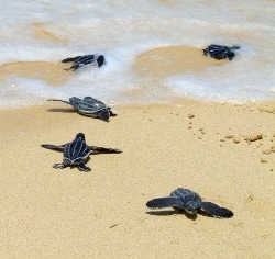 Hatchlings heading out to sea.