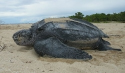 A female leatherback at Sandy Point National Wildlife Refuge, USVI.