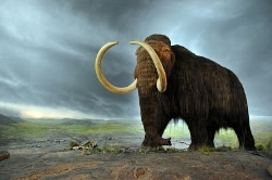 A model of a woolly mammoth at the Royal British Columbia Museum in Victoria.
