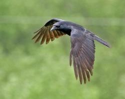 American crow photo
