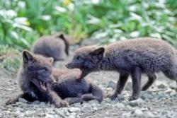Arctic fox pups photo