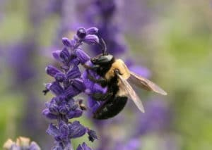 Eastern carpenter bee photo