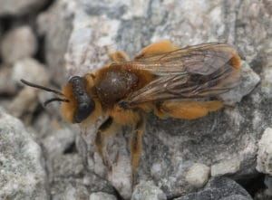 Plasterer bee photo