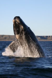 Southern Right Whale photo