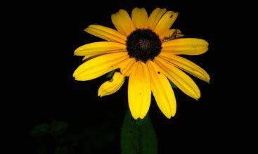 black eyed susan flower
