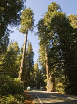 Coast redwoods photo