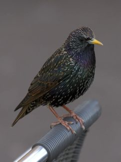 Common starling photo