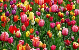 A field of red, yellow and purple tulips.