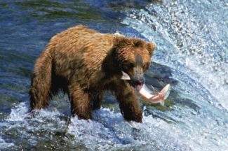 Fishing grizzly photo