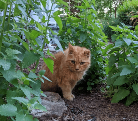 Garfield during his feral days among the catnip plants I grow in my front yard.
